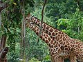 Giraffees eating tree leaves.jpg