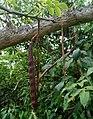 Gliricidia sepium (Fabaceae) 02.jpg