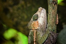 Globe-horned chameleon in Madagascar.jpg