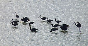 Singanallur Lake - Image: Glossy Ibis