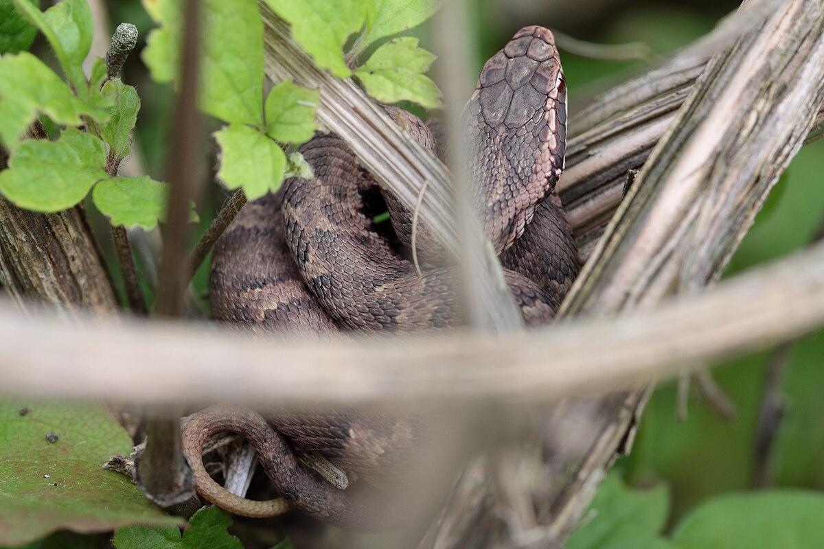 Gloydius blomhoffii.jpg