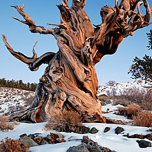 Gnarly Bristlecone Pine (crop).jpg
