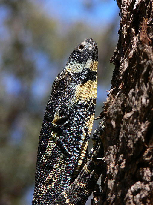 Goana lace monitor
