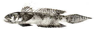 <i>Oxyurichthys microlepis</i> species of fish