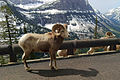 Going-to-the-Sun Road, bighorn sheep, 2013.jpg