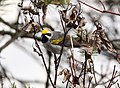 Golden-winged Warbler, Tawas Point State Park, 17 May 2014 (14031169497).jpg