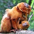 Golden Lion Tamarin and Baby.jpg