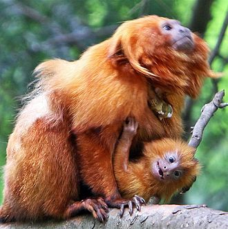 Golden lion tamarin - The mother provides transportation at the early stages of the infant's life.