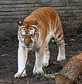Golden tiger 1 - Buffalo Zoo.jpg