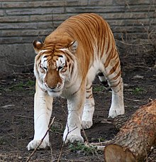 220px-Golden_tiger_1_-_Buffalo_Zoo dans TIGRE