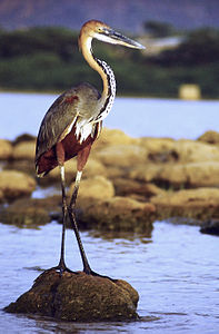 Goliath heron standing cropped.jpg