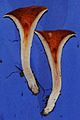 Gomphus floccosus in cross-section.jpg
