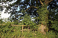Good Easter, Essex, England - fence and oak on road to ford over River Can east of Good Easter village.JPG