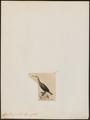 Graculus gracilis - 1845-1863 - Print - Iconographia Zoologica - Special Collections University of Amsterdam - UBA01 IZ18000115.tif