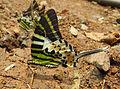 Graphium antiphates - Five-bar Swordtail 07.jpg