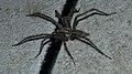 Grass Spider (Agelenopsis sp.) - Guelph, Ontario 2015-09-02.jpg