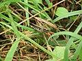 Grasshopper (125165405).jpeg