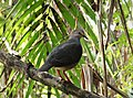 Gray-headed Dove Leptotila plumbeiceps (42325344414).jpg