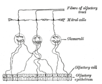 Plan of olfactory neurons.