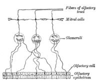 Mirror neuron  Wikipedia