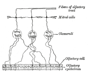 Olfactory epithelium - Plan of olfactory neurons.