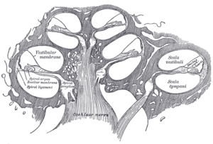 Diagrammatic longitudinal section of the cochlea.