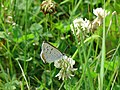 Gray copper butterfly insect lycaenidae dione.jpg
