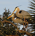 Great Blue Herons in Nesting Mode - Flickr - Andrea Westmoreland.jpg