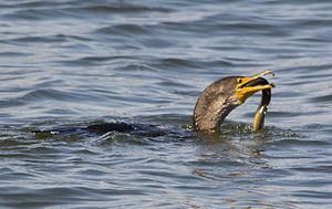 Great cormorant - Cormorant swallowing a just caught eel