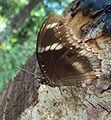 Great Eggfly -Hypolimnas bolina.JPG