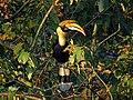 Great Hornbill IMG 2015.jpg