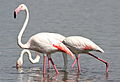 Greater Flamingo, Phoenicopterus roseus at Marievale Nature Reserve, Gauteng, South Afr (22773961424).jpg