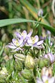 Greater Sea-Spurry (Spergularia media) - Thunder Bay, Ontario 01.jpg