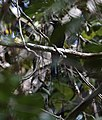 Greater racket-tailed drongo (45960598382).jpg