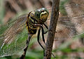 Green Marsh Hawk (Orthetrum sabina) W2 IMG 3457.jpg