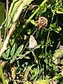 Grenchen - Polyommatus icarus (female) v2.jpg