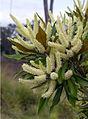 Grevillea baileyana - Brown Silky Oak (6430963181).jpg