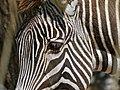 Grevy's Zebra (Equus grevyi) (7124817289).jpg