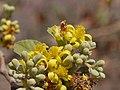 Grewia asiatica (4399865683).jpg