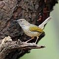 Grey-backed Camaroptera, Camaroptera brevicaudata, at Pilanesberg National Park, Northwest Province, South Africa. (44530089114).jpg