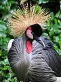 Grey Crowned Crane (8560052730).jpg