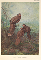 Grey Peacock Pheasant by George Edward Lodge.png