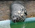 Grey Seal yawning at Gweek.jpg
