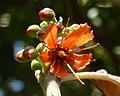 Greyia sutherlandii, blom, Manie van der Schijff BT, a.jpg