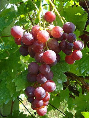 Cardinal (grape) - Cardinal grape cluster grown in Medjimurje County wine subregion, northern Croatia