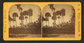 Group of palmettos, from Robert N. Dennis collection of stereoscopic views 3.png