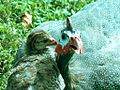 Guinea Hen and Chick (4679007462).jpg