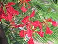 Gulmohar Flower (2).JPG