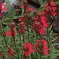 H20120823-5379—Lobelia cardinalis--RPBG (48546935411).jpg