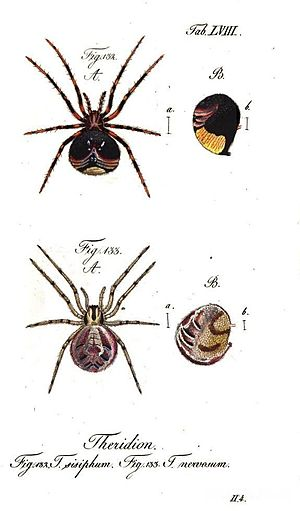 Carl Wilhelm Hahn - Theridion sisyphium (Clerck, 1757) from Die Arachniden by C. W. Hahn 1834 sub T. sisyphum and T. nervosum